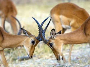Impalas-fighting-for-dominance