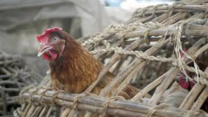A bird stretches out from a cage in search of food in a Lagos fowl market 06 February 2007. Tests on samples from two people feared to have died of bird flu in Nigeria have so far proved negative, the World Health Organisation (WHO) has found, according to a senior Nigerian health official 05 February 2007.  AFP PHOTO/Pius UTOMI EKPEI