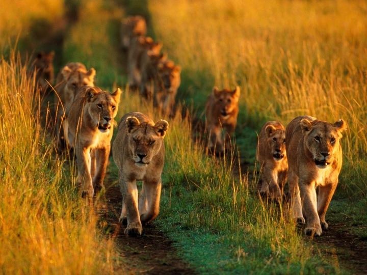 lion-pride-in-mara