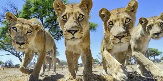 lionsssss