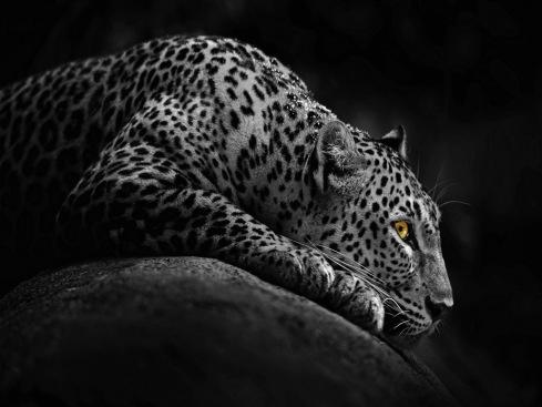 beautiful-jaguar-in-night-free-cute-awesome-beautiful-downlaod-new-hd-wallpapers-of-jaguar-animal