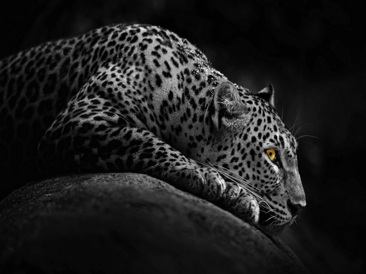 beautiful-jaguar-in-night-free-cute-awesome-beautiful-downlaod-new-hd-wallpapers-of-jaguar-animal