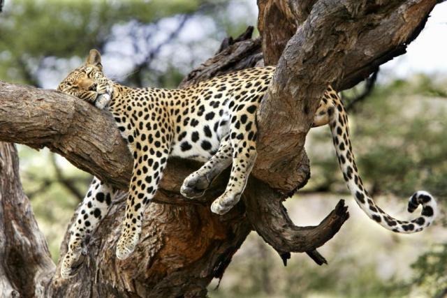 cheetah-resting.jpg