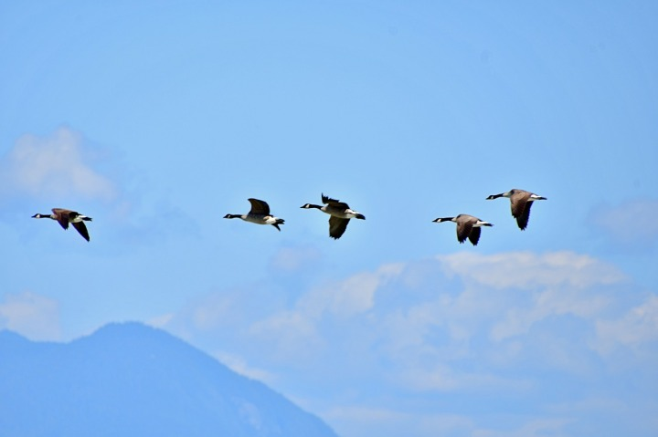 wild-geese-formation-4432986_1280